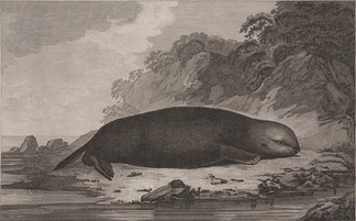 A sea otter, drawing by S. Smith after John Webber