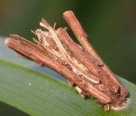 Чехлик гусеницы мешочницы, прикреплённый шелковиной к листу злака перед окуклением.