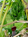 Wild banana with flowers and stem growing in reverse direction