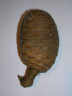 Cedar of Lebanon cone showing flecks of resin as used in the mummification of Egyptian Pharaohs.