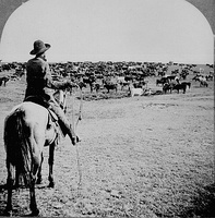 Cattle herd and cowboy, c. 1902