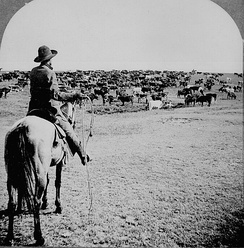 Cattle herd and cowboy, circa 1902