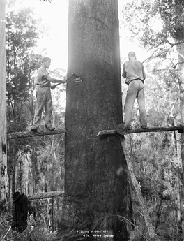 A mountain ash (Eucalyptus regnans) being felled using springboards, c. 1884–1917, Australia