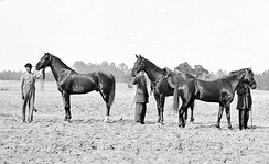 Photograph of three of Grant's horses during the Overland Campaign (Cold Harbor, Virginia), from left to right: Egypt, Cincinnati, and Jeff Davis