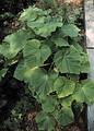 Листья Paulownia imperialis