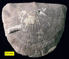 Strophomenid brachiopod with attached cornulitid worm tube (Upper Ordovician, SE Indiana, USA). Brachiopod valves often serve as substrates for encrusting organisms.