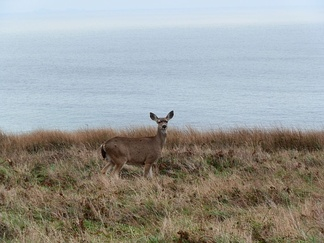 A female black-tailed deer at Point Reyes