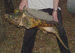 Correct handling of a 45-pound alligator snapping turtle at Austin Reptile Service, in Austin, Texas