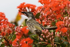The phaneranthous habit of the red flowering gum, Corymbia ficifolia, can attract pollinators such as the honey eater, Anthochaera chrysoptera, from a considerable distance.