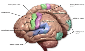 Motor and sensory regions of the brain