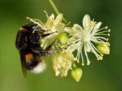 Bombus terrestris on Tilia cordata