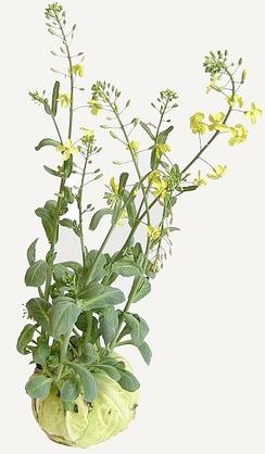 Капуста — двулетнее растение. На следующий год кочан зацветает даже без земли