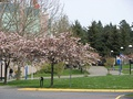 Cherry Tree Blossoms at Camosun College, Greater Victoria, British Columbia