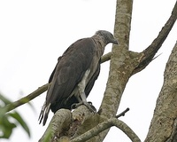 A grey-headed fish eagle