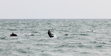 Black Sea Common Dolphins with a kite-surfer off Sochi