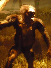 "A reconstruction of ""Lucy"", a female Australopithecus afarensis on exhibit in the National Museum of Natural History, Washington, D.C., USA."