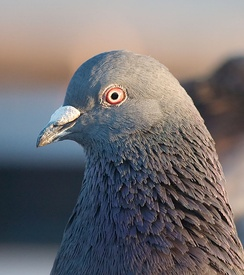 The rock dove's operculum is a mass at the base of the bill.