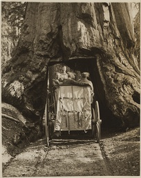 Roosevelt driving through a sequoia tree tunnel