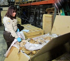 Legal shipment of wildlife pelts, a form of legal wildlife trade