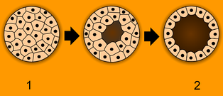 Animals are unique in having the ball of cells of the early embryo (1) develop into a hollow ball or blastula (2).