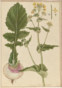 Brassica rapa (ropė) was a popular root vegetable before the prevalence of potatoes in 18th century.