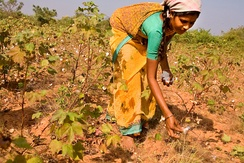 Cotton being picked by hand in India, 2005.