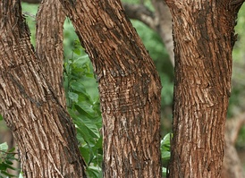 Акация катеху, из древесины которой получают краситель «чёрный катеху»