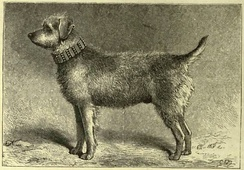 Thunder, a Bingley Terrier and one of the founders of the Airedale Terrier, from The Illustrated Book of the Dog, London/New York 1881