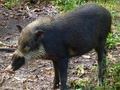 Bornean bearded pig (Sus barbatus) endemic to the Philippines, Sumatra and Borneo