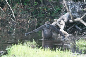 A gorilla using a stick possibly to gauge the depth of water