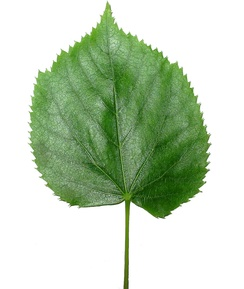 Leaf of Tilia tomentosa (Silver lime tree)
