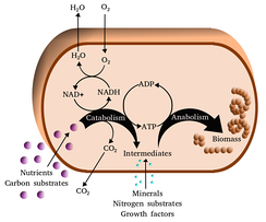 Simplified view of the cellular metabolism