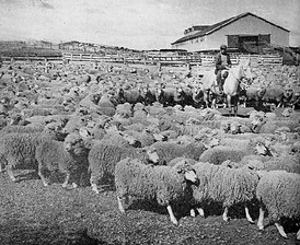 Local sheep ranch, 1942. Sheep, the most important part of the economy by the turn of the 20th century, have been eclipsed by the decline in the global wool market and the rise in petroleum extraction.