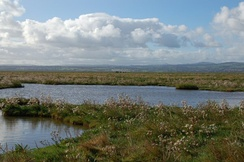 The marshes at Parkgate, Cheshire may hold hundreds of water rails in winter.[43]