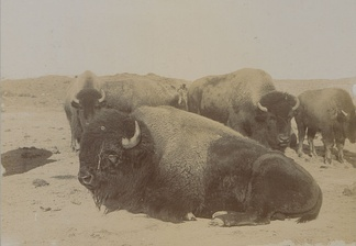 """Last of the Canadian Buffaloes"", 1902, photograph: Steele and Company"