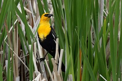 Many kinds of birds nest in marshes; this one is a yellow-headed blackbird.