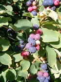 "Several types of common ""berries"""