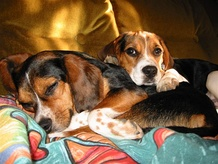 Beagles are happy to rest without being exercised to exhaustion.