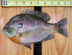 Small male bluegill sunfishes cuckold large males by adopting sneaker or satellite strategies