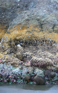 Photo of partially submerged rock showing horizontal bands of different color and texture, where each band represents a different fraction of time spent submerged.