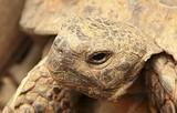 Голова окаймлённой сухопутной черепахи
