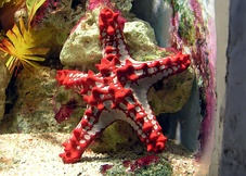 A red knob sea star, Protoreaster linckii is an example of Asterozoan Echinoderm.