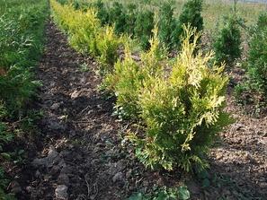 Выращивание туи в питомнике