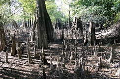 Unusually dense stand of cypress knees around the parent tree