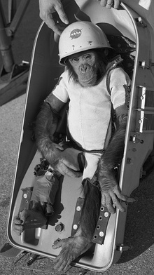 Ham the chimp (cropped).jpg