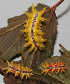Колючие гусеницы слизневидки