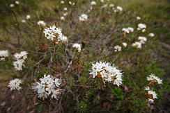 Many species of evergreen shrub are found in bogs, such as Labrador tea.