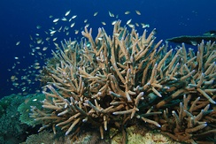 Staghorn coral (Acropora cervicornis) is an important hermatypic coral from the Caribbean