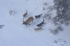 Single bull elk are vulnerable to predation by wolves