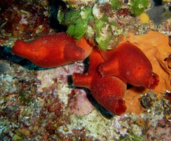 Tunicates: sea squirts